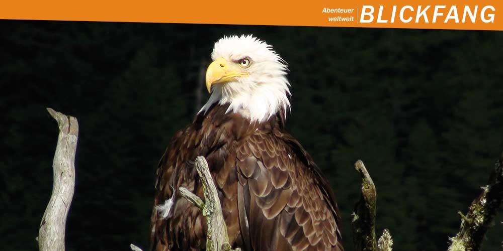 Titelbild Aschaffenburg: Weißkopfseeadler auf entwurzeltem Baum